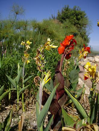 Wetland-in-garden-with-red-papirus-by-www.hametaher.co.il